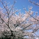 桜の季節です。ロードバイクシーズンが始まりました!